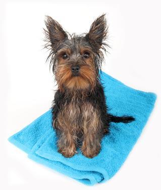Comment toiletter soi-même son chien