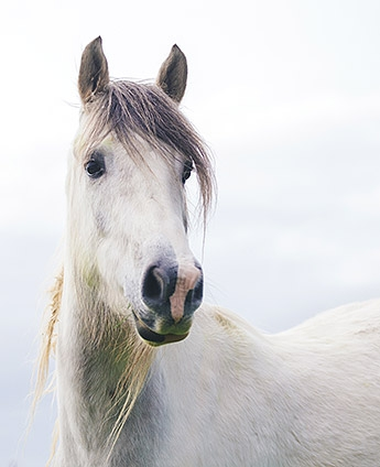 ulcère gastrique cheval