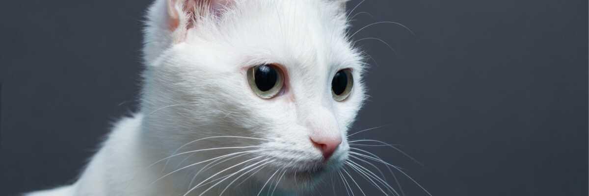 Qu'est-ce qu'un chat albinos ?