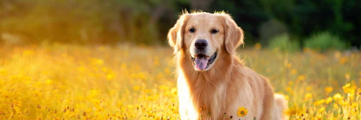 Quelle est la durée de vie d'un chien ?