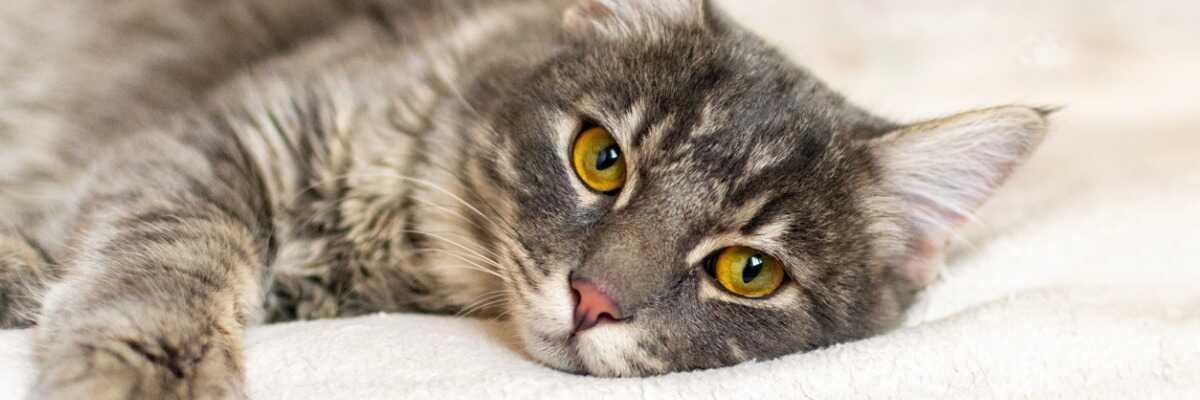 Qu'est-ce que l'occlusion intestinale chez le chat ?