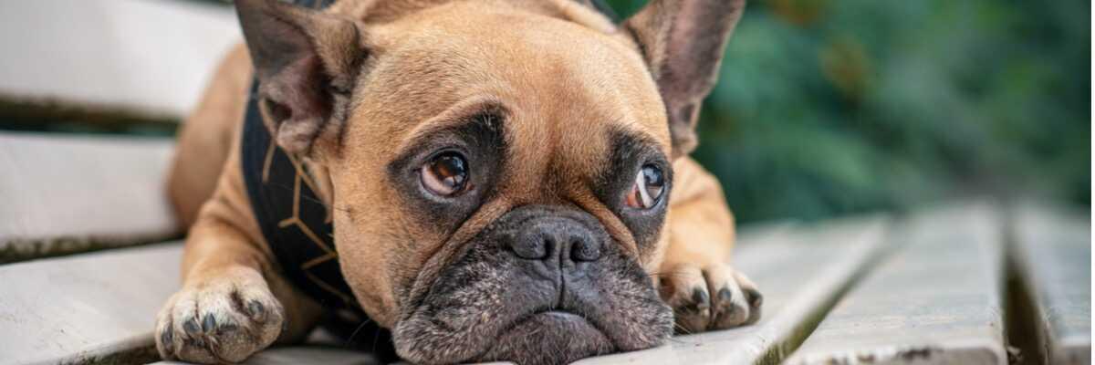 Quelles sont les particularités des chiens brachycéphales  ?