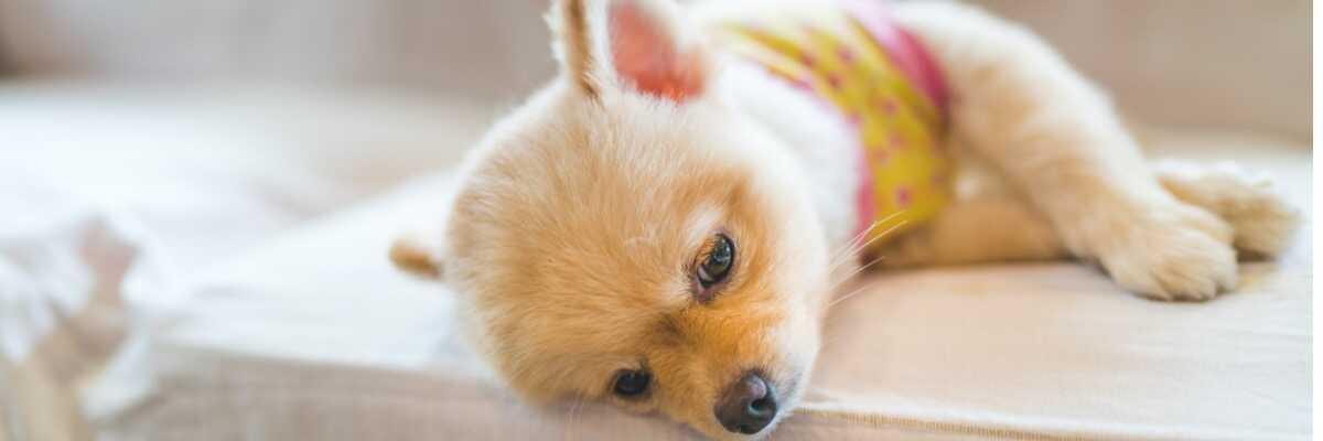 Comment prévenir une intoxication au chocolat pour mon chien?
