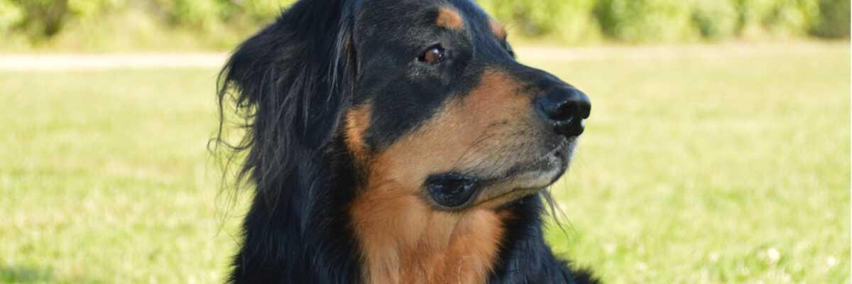 Comment reconnaître une insuffisance rénale chronique chez mon chien?
