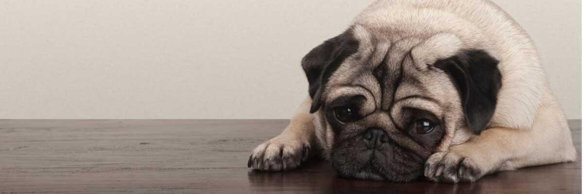 Comment reconnaître une insuffisance rénale aiguë chez mon chien?