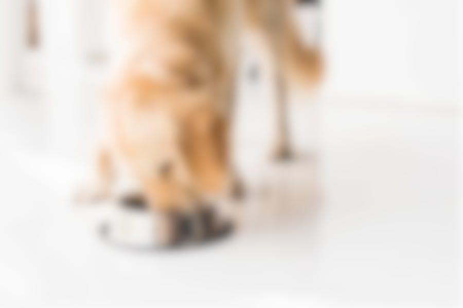 Comment nourrir ma chienne qui est gestante et lorsqu'elle allaitera?