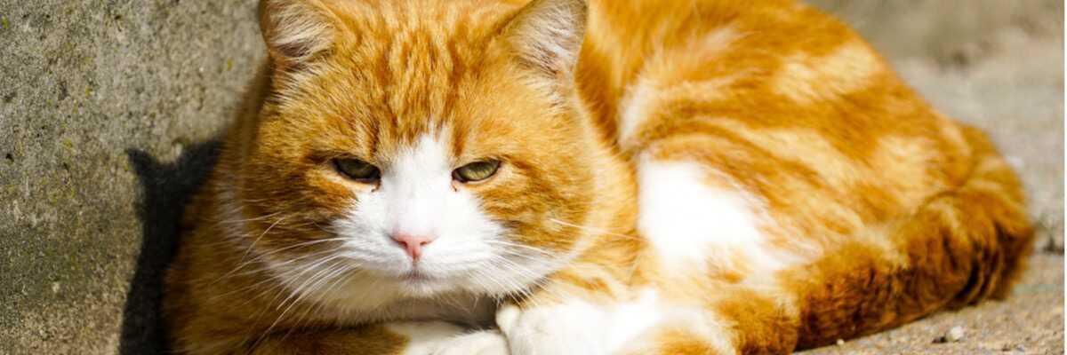 Comment contrôler le diabète de mon chat?