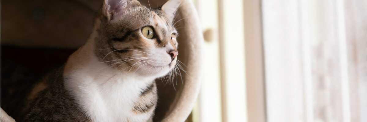Qu'est-ce que la péritonite infectieuse féline?