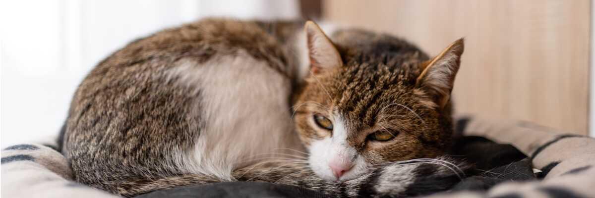 Qu'est-ce que le fibrosarcome du chat