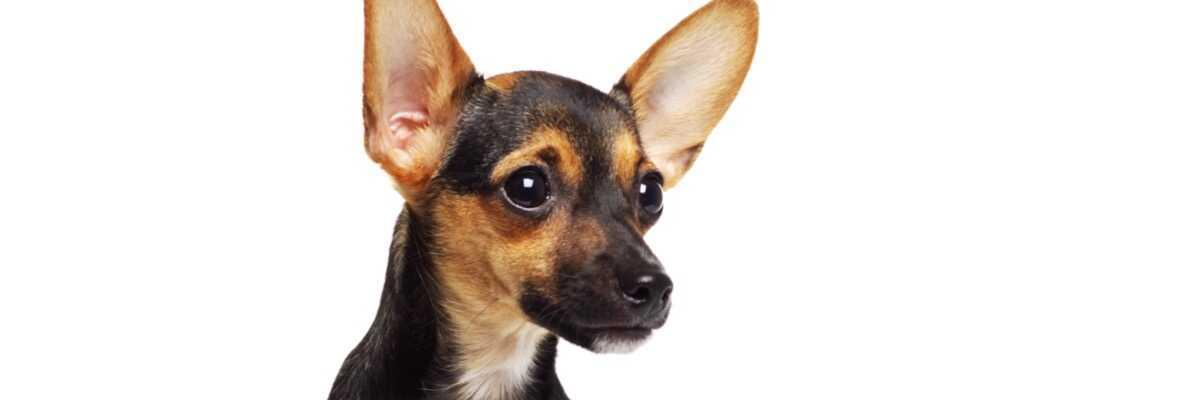 Qu'est-ce que l'othématome chez le chien ?