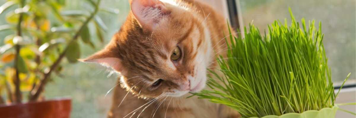Quel est l'effet de l'herbe à chat ?