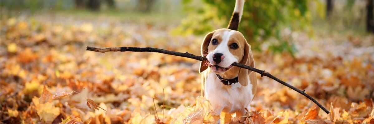Quel est le caractère du Beagle ?