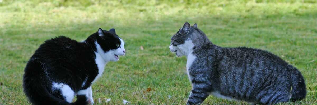 Bagarre entre chats : que faire ?