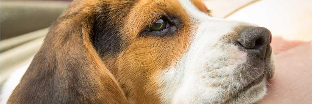 Qu'est-ce que le pyomètre chez la chienne ?