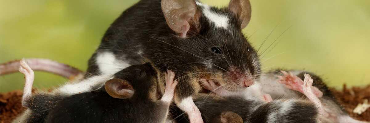Comment se passe la reproduction de la souris ?