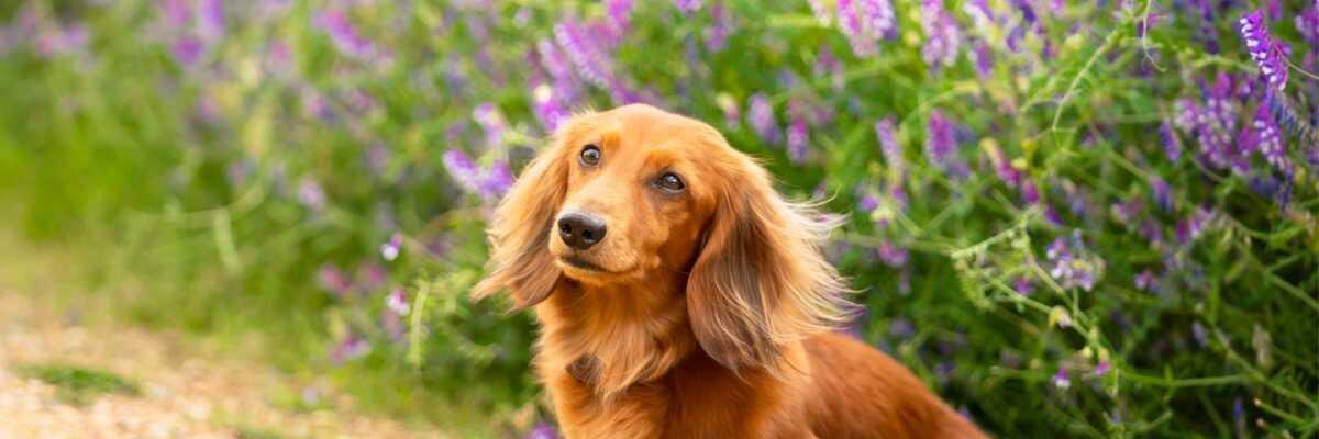 Qu'est-ce que la ménopause chez le chien ?