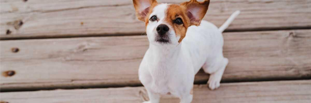 Comment soigner une verrue chez un chien ?