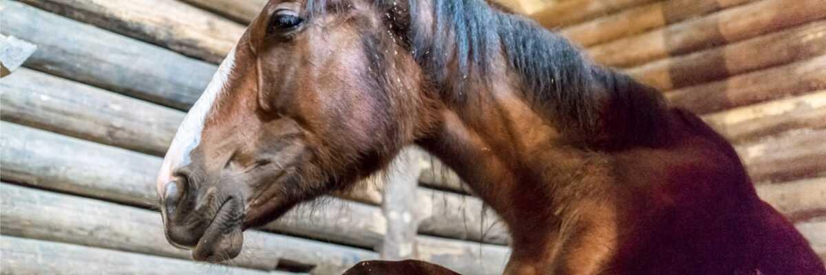 Qu'est-ce que la leptospirose du cheval ?