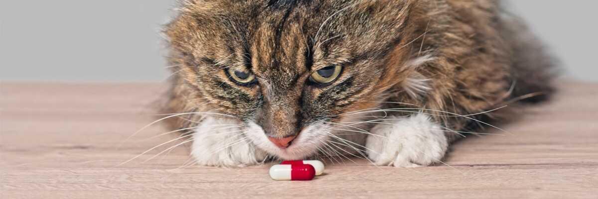 Pilule pour chat : des risques pour la santé ?