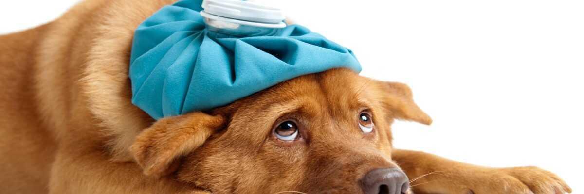 Comment soulager la fièvre chez le chien ?