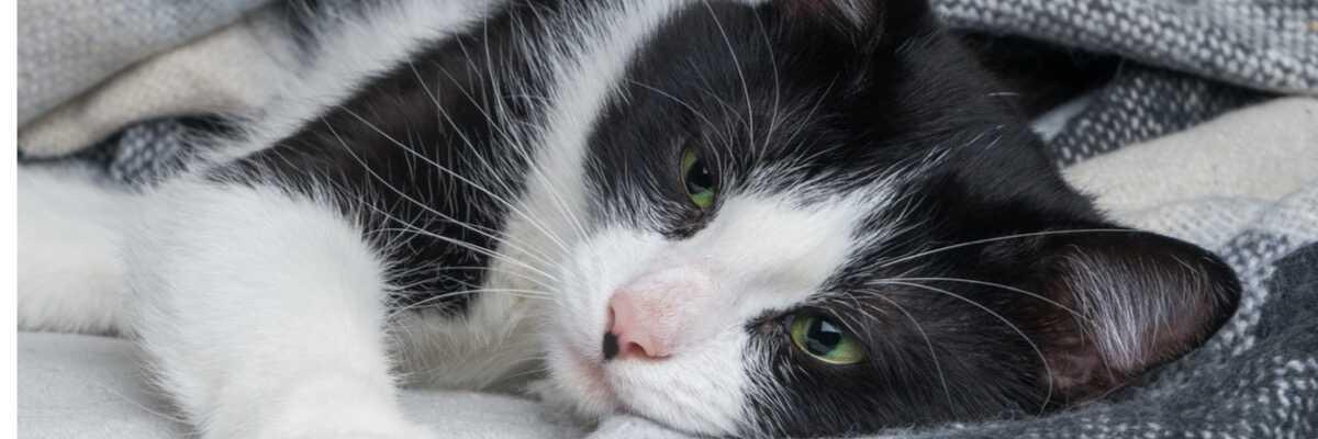Quelles maladies du chat sont transmissibles à l'homme ?