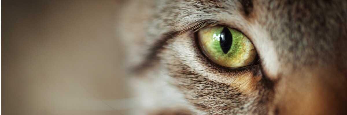Comment voient les chats ?