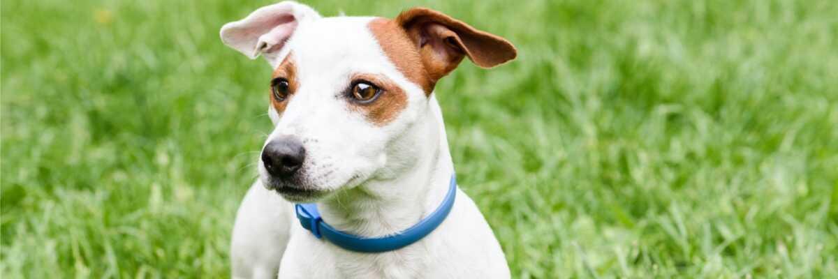 Quel collier antipuces choisir pour votre chien ?