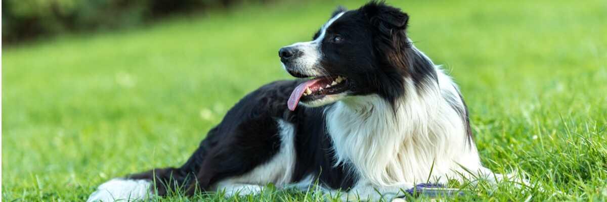 Quelle réglementation pour un chien de 1re catégorie ?