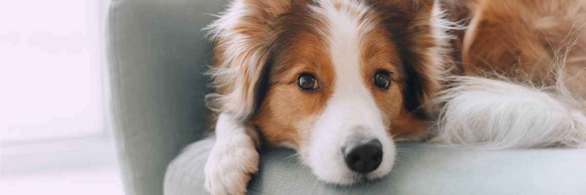 Quelle est la durée des chaleurs chez la chienne ?
