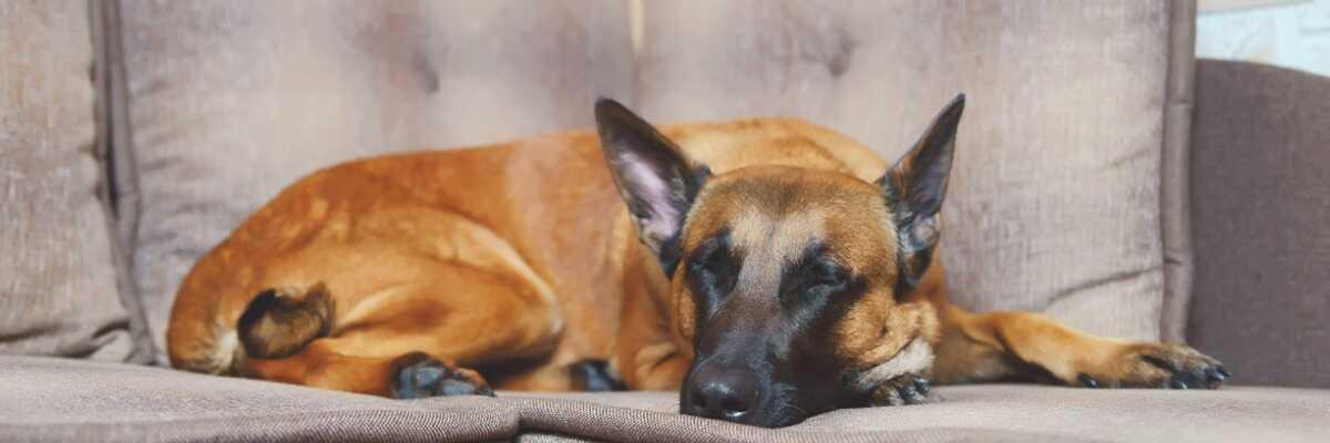Comment protéger mon chien contre l'ehrlichiose?