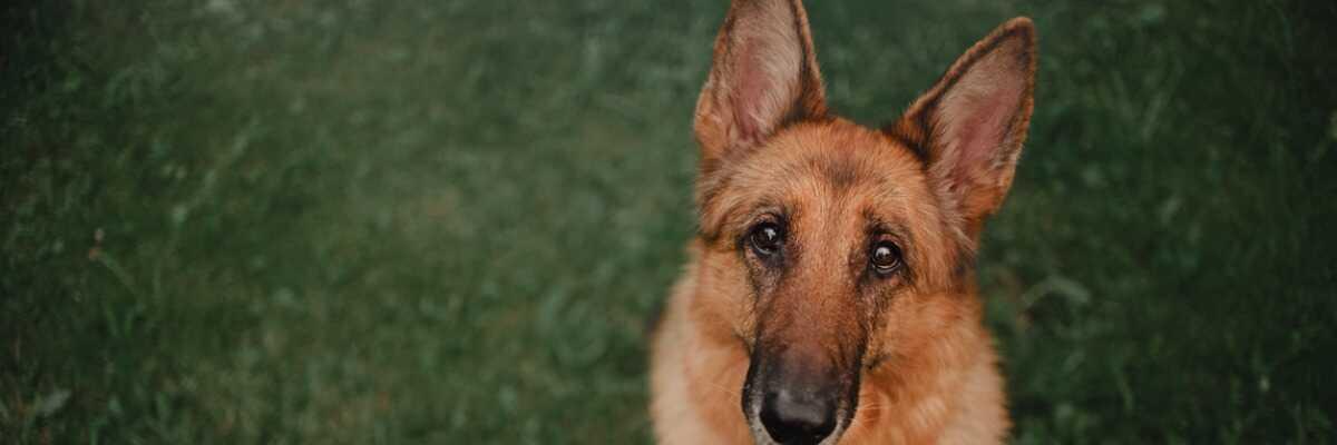 Comment protéger mon chien contre la gale des oreilles?