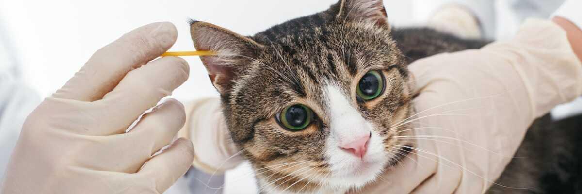 Est-ce que mon chat peut attraper la gale des oreilles?