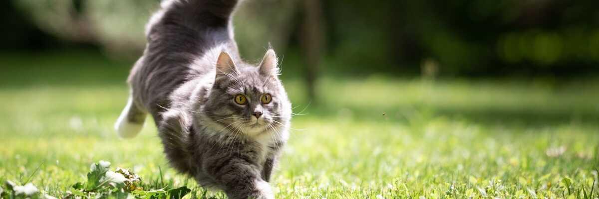 Comprendre le comportement du chat fugueur