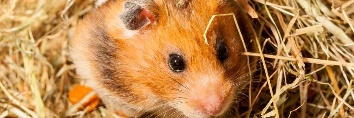 Tout savoir sur le hamster