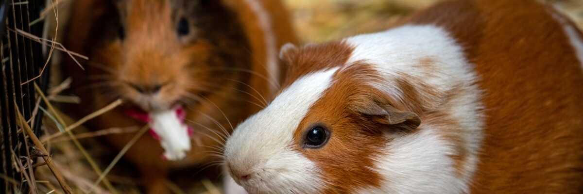 Tout savoir sur le cochon d'Inde (cobaye)