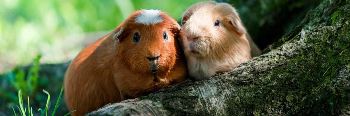 Tout savoir sur l'habitat et l'hygiène du cochon d'Inde (cobaye)