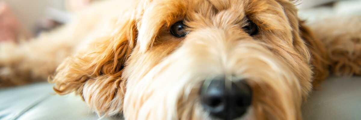 Protéger votre chien de la leptospirose