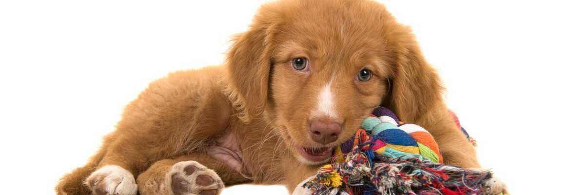 Protéger votre chien contre la maladie de Carré