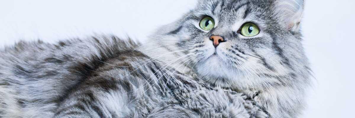 Protéger votre chat de la chlamydiose féline