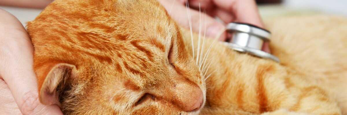 Protéger votre chat de la leucose féline