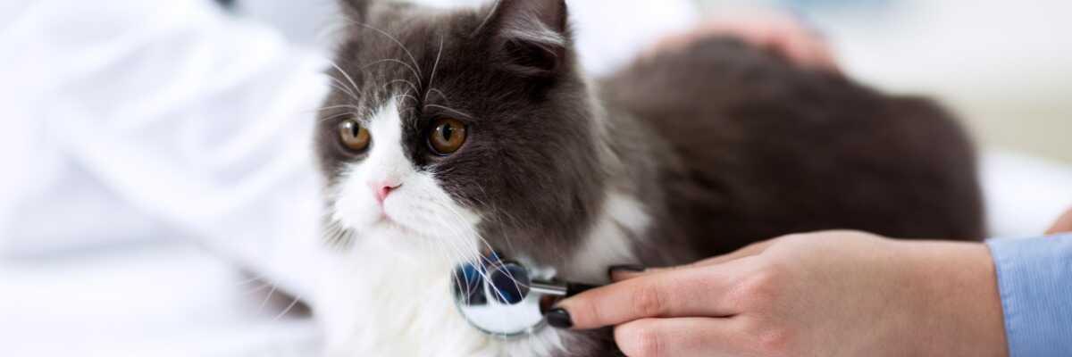 Protéger votre chat du FIV