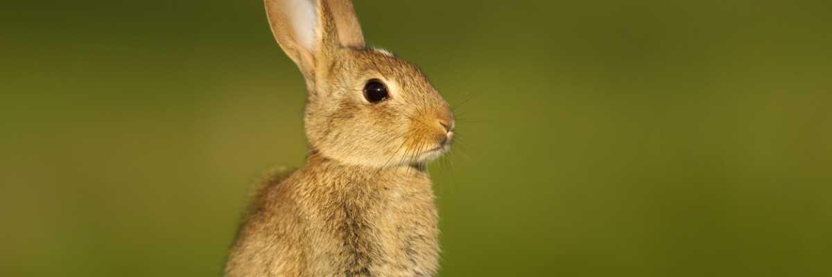 Protéger votre lapin de la myxomatose