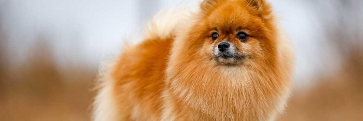 Quel chien de petite taille choisir ?