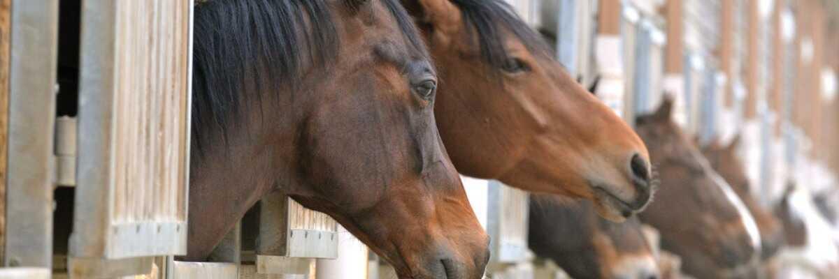 La gourme du cheval : les symptômes de cette maladie infectieuse