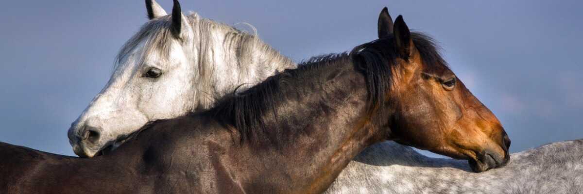 Reproduction du cheval : comment ça marche ?
