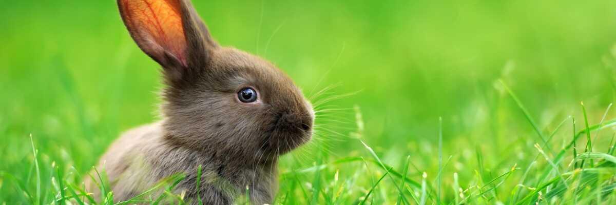 A quoi servent les oreilles du lapin ?