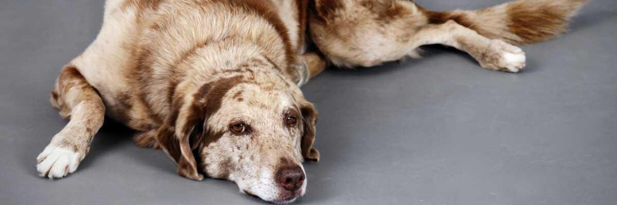 Mon chien a un cancer : que dois-je faire ?