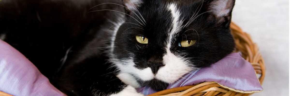 Un voyage sans stress dans un panier de transport pour chat