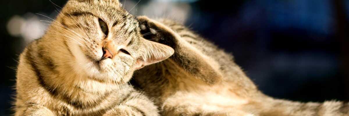 La teigne du chat : comment l'éviter et comment la faire disparaître ?