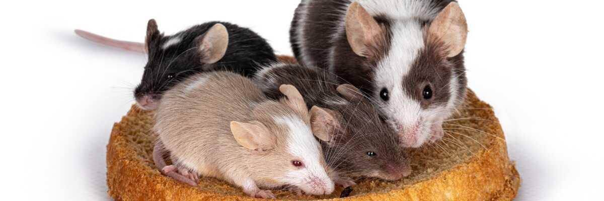 Comment choisir la bonne nourriture pour ma souris ?